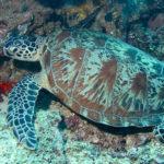 アオウミガメの産卵から孵化まで。産卵地は何処!?