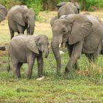 アフリカゾウの生態について。どうして群れを作るの!?