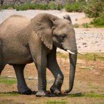 日本でアフリカゾウが見られる動物園のまとめ