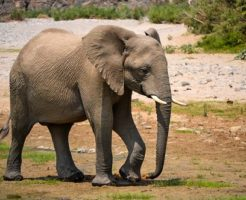 アフリカゾウ 日本 動物園