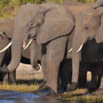 アジアゾウとアフリカゾウの大きさや違いについて
