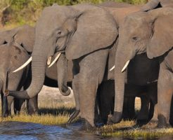 アジアゾウ アフリカゾウ 大きさ 違い