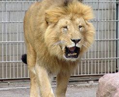 インドライオン 歯