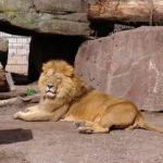 絶滅危惧種に指定されたインドライオンの減少の理由は!?