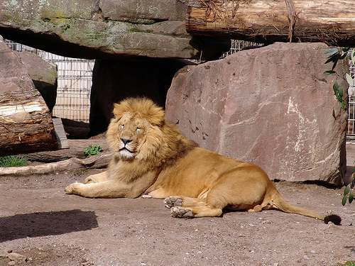 インドライオン 絶滅危惧種