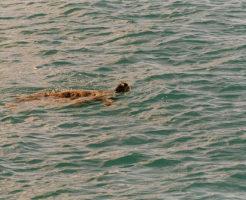 リクガメ ウミガメ 寿命