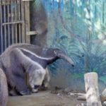 オオアリクイの大きさや特徴について
