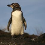 絶滅の危機!ガラパゴスペンギンの現在の推定個体数について