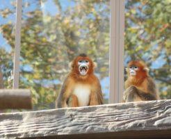 キンシコウ 猿 動物園