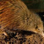 ニュージーランドの国鳥キーウィの鳴き声について