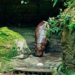 日本でコビトカバが見られる動物園はどこ!?
