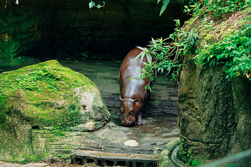 コビトカバ 日本 動物園
