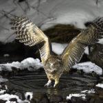 絶滅危惧種シマフクロウの生息地や生息数について