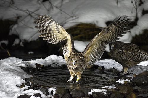 シマフクロウ 生息地 生息数