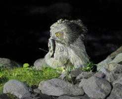シマフクロウ 絶滅危惧種