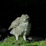 日本最大のフクロウ「シマフクロウ」の平均寿命は!?