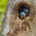 スミレコンゴウインコの繁殖の時期について