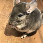小動物チンチラの見た目の特徴や大きさについて