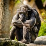 チンパンジーとボノボの違いについて