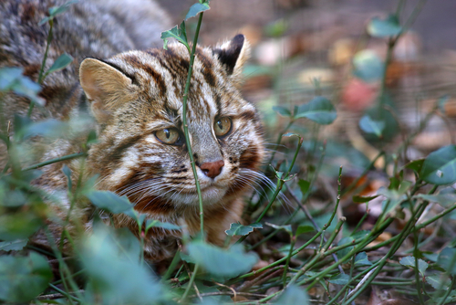 ツシマヤマネコ 絶滅危惧種 理由