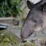 ベアードバクの赤ちゃんの特徴や生態について
