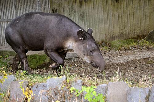 ベアードバク 動物園