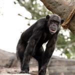 チンパンジーが絶滅危惧種に!減少の理由は!?