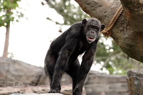 チンパンジー 絶滅 理由