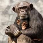 チンパンジーの出産はどこからどのようにして行うの!?