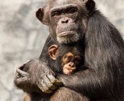 チンパンジー 出産 どこから 年齢