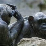 チンパンジーの生態。群れはどうやって作っているの!?
