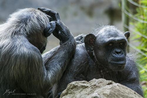 チンパンジー 群れ オス メス ボス