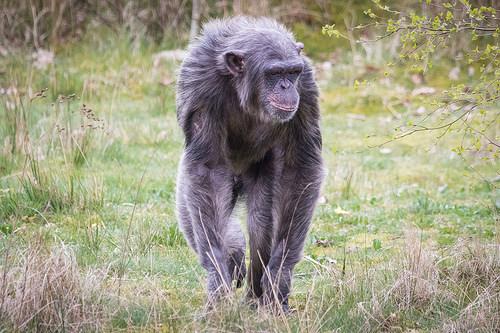 エイズ 起源 チンパンジー