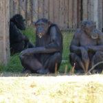 チンパンジーの染色体の数や本数ってどれくらい!?