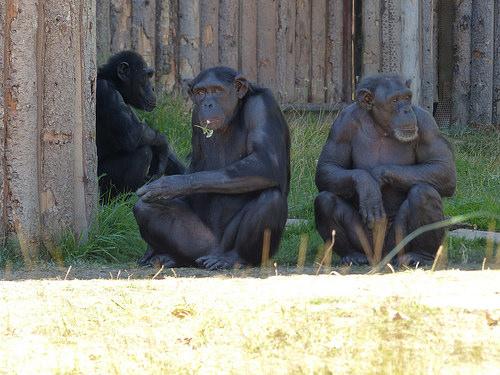 チンパンジー 染色体 本数