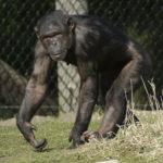 チンパンジーのオスメスの違いについて