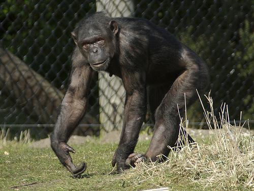 チンパンジー オス メス