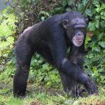 チンパンジーとゴリラの違いについて
