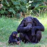 チンパンジーのおしりはなぜ発情期になると出てるの!?