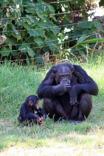 チンパンジー おしり 発情期