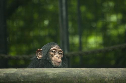 チンパンジー ニホンザル 違い