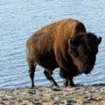 絶滅危惧種ヨーロッパバイソンの減少の理由について