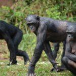 ボノボは他の猿を食べる!?どうして!?