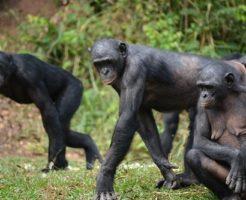 ボノボ 猿 食べる