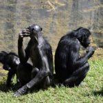 ボノボの生息地や生息数について