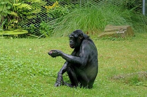 ボノボ ゴリラ 違い 性格