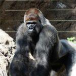 日本でマウテンゴリラが見られる動物園ってどこ!?