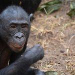 ボノボってどんな動物!?見た目の特徴について