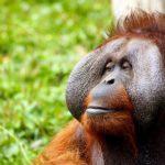 類人猿オランウータンの大きさや特徴について