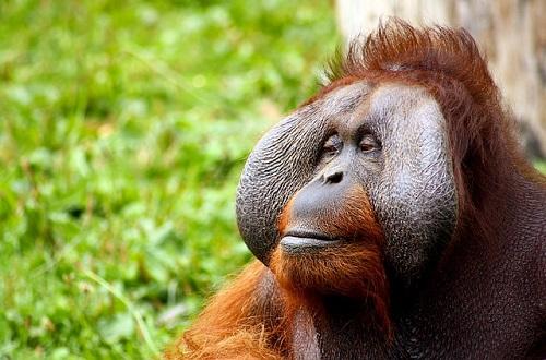 類人猿 オランウータン 特徴 大きさ 体重